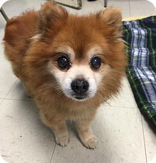 Pomeranian Mix Dog for adoption in Lowell, Massachusetts - Jax