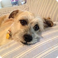 Silky Terrier Mix Dog for adoption in Fresno, California - Buddy