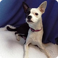 Adopt A Pet :: Lily - Troy, IL
