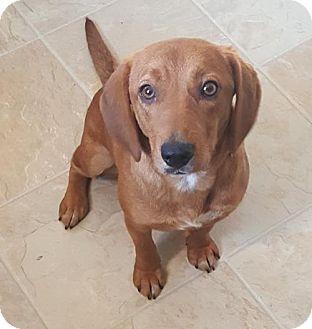 Labrador Retriever Mix Dog for adoption in Newark, Delaware - Jewel ($100.00 Adoption Fee)