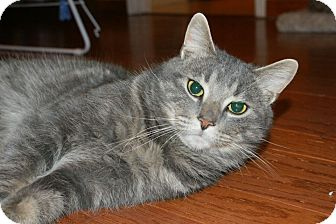 Domestic Shorthair Cat for adoption in Huntsville, Ontario - Lenny - What a Character!