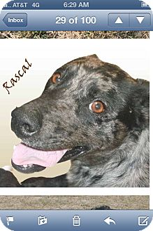 Catahoula Leopard Dog Dog for adoption in Conway, Arkansas - Rascal