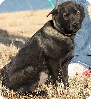Husky/German Shepherd Dog Mix Puppy for adoption in Pewaukee, Wisconsin - Tennille