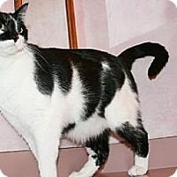Domestic Mediumhair Cat for adoption in Columbia, South Carolina - Maverick