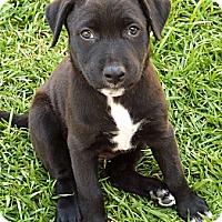Adopt A Pet :: Callie - Long Beach, CA