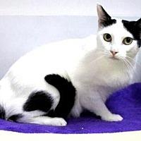 Domestic Shorthair Cat for adoption in Sebastian, Florida - Kira