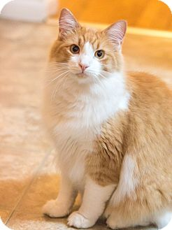 Domestic Longhair Cat for adoption in Chicago, Illinois - Gruyere