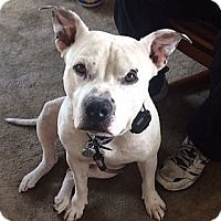 American Pit Bull Terrier Dog for adoption in Berkeley, California - Bunchy