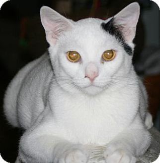 Domestic Shorthair Cat for adoption in Columbia, South Carolina - Towhee