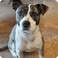 American Bulldog/Mountain Cur Mix Dog for adoption in Tanner, Alabama - Dakota