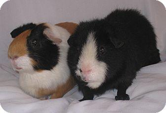 Guinea Pig for adoption in Monrovia, Maryland - Hanna (Sanctuary Foster)