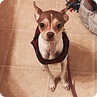 Adopt A Pet :: Cupcake - Savannah, GA