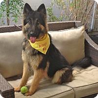 German Shepherd Dog Dog for adoption in Los Angeles, California - Beautiful Lexi
