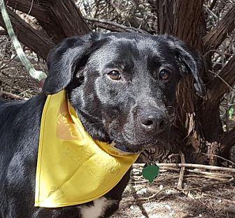 Labrador Retriever Dog for adoption in Lago Vista, Texas - Charity