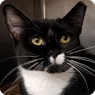 Domestic Shorthair Cat for adoption in New York, New York - Noodles