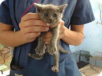 Domestic Shorthair Kitten for adoption in San Bernardino, California - URGENT on 9/10 San Bernardino