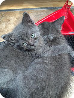Russian Blue Kitten for adoption in THORNHILL, Ontario - DEX
