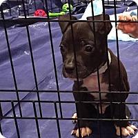 Adopt A Pet :: Pumba - Phoenix, AZ
