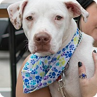 American Staffordshire Terrier Mix Dog for adoption in Long Beach, New York - Honey