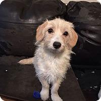 Adopt A Pet :: Tuffy - Goodyear, AZ