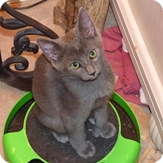 Russian Blue Kitten for adoption in Land O Lakes, Florida - Storm