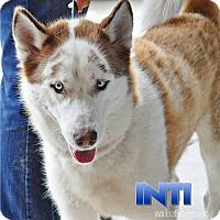 Siberian Husky Dog for adoption in Carrollton, Texas - Inti