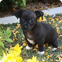 Adopt A Pet :: Rambo - Henderson, NV