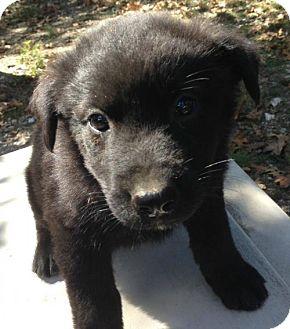 Shepherd (Unknown Type)/Labrador Retriever Mix Puppy for adoption in Boston, Massachusetts - Tai