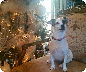 Corgi/Terrier (Unknown Type, Small) Mix Dog for adoption in Flower Mound, Texas - Lola