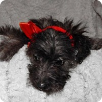 Adopt A Pet :: Peppermint--Adopt Pending to Haney - Old Fort, NC
