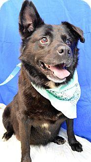 Labrador Retriever Mix Dog for adoption in Monroe, Michigan - Blackie