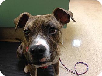 Pit Bull Terrier/Boxer Mix Dog for adoption in North Wilkesboro, North Carolina - Ratchet