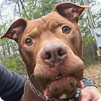 Adopt A Pet :: Spud - Asheville, NC