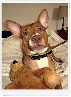 Basenji/American Pit Bull Terrier Mix Puppy for adoption in New York ...