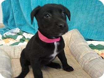 Labrador Retriever Mix Puppy for adoption in Waldorf, Maryland - Jilli #436