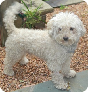 Bichon Frise/Poodle (Miniature) Mix Dog for adoption in Norwalk, Connecticut - Pickering