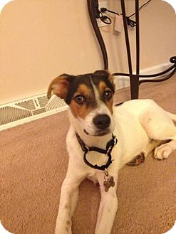 Wirehaired Fox Terrier/Jack Russell Terrier Mix Puppy for adoption in Morgantown, West Virginia - Blu