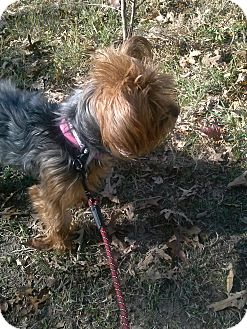 Yorkie, Yorkshire Terrier Mix Dog for adoption in Waldorf, Maryland - Titi