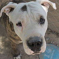 Adopt A Pet :: Mac Daddy Louie - Las Vegas, NV