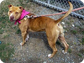 American Pit Bull Terrier Mix Dog for adoption in Crescent City, California - Jane