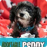 Adopt A Pet :: Penny - Troy, MI