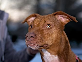 Pit Bull Terrier Mix Dog for adoption in Clarksville, Tennessee - Lucy - URGENT!!