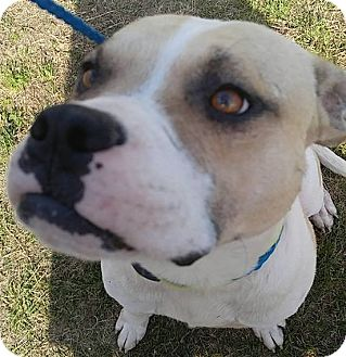 American Bulldog Mix Dog for adoption in Camilla, Georgia - Elvis