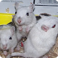 Adopt A Pet :: Larry, Moe and Curly - South Bend, IN