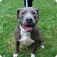 American Pit Bull Terrier Mix Dog for adoption in Winchester, Virginia - Bruno