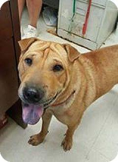 Shar Pei Dog for adoption in Mira Loma, California - Peaches in OK