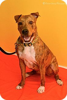 Boxer/Plott Hound Mix Dog for adoption in Albuquerque, New Mexico - King