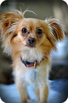 Chihuahua/Pomeranian Mix Dog for adoption in Milpitas, California - Prince Phillip - urgent foster needed!