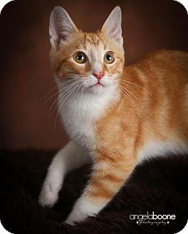 Domestic Shorthair Kitten for adoption in Shakopee, Minnesota - Pickles C1396