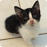 Adopt A Pet :: White & Black female kitten PP - Manasquan, NJ